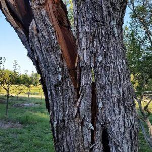 ترک خوردن درخت